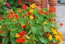 gyógy es ehető növények