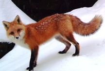 Reference: Red fox