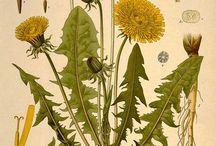 Botaniczne ryciny