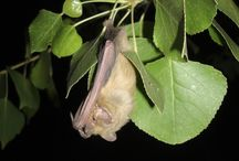 Bat Week / Celebrating everything cool about bats!