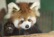 Røde Pandaer