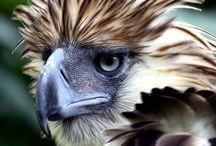 The noble eagle