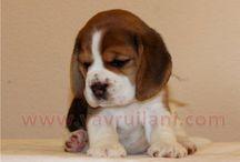 Satılık Elizabeth Beagle Yavruları / Satılık Elizabeth Beagle Yavruları  http://elizabeth-beagle.yavruilani.com
