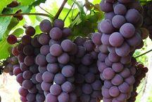 Como plantar uva.