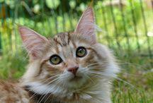 Norwegische Waldkatzen vom Ritterclan / Meine Süßen Waldtrolle❤️
