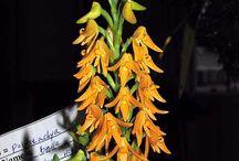 Polystachya orchid