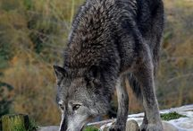 Wolf/Huskies/Malamute / Brothers