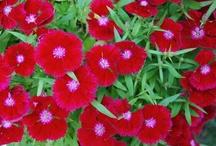 DIANTHUS / Dianthus Colours