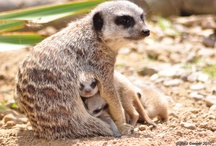 All Creatures Great and Small ~ Meerkats / by Lorri S