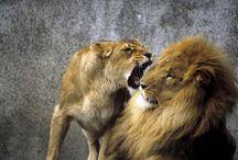 メスライオンに怒られるオスラインが切なすぎて笑えるとSNSで話題に