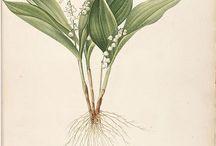 botany illustration