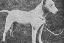 Vintage Bull Terrier