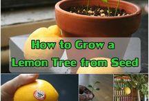 Lemon Planting