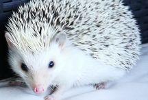 Francisca The Beautiful Hedgehog ❤