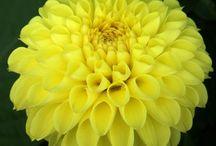 Mijn collectie Dahlia's - geel