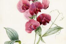 botanical illustrations i like