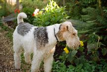 Wire Haired Fox Terriers / Wire Haired Fox Terriers