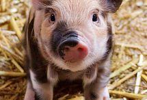 Mini piglets
