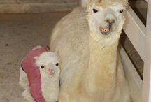 Llamas & Alpacas / Llamas always understand.