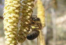 Flores que gustan a las abejas / Flowers liked by honey bees / Flores de las que las abejas de la miel obtienen polen o néctar. No todas las flores pueden proporcionar este alimento a las abejas.