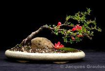 15_bonsai