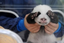 Ask Me If I Love Pandas! / by Connie Langford