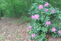 Rhododendron's