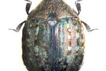 birrhidae