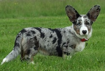 welsh corgi cardigan / the smallest shepard in the whole word, herding and pastoral dogs, very sweet