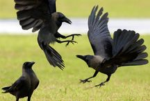 Quoth the Raven / All things Raven.