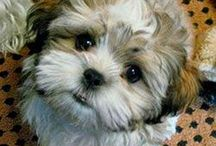 Super cute Malshi dogs!! / A board about beautiful Malshi (Maltese x Shih Tzu) dogs! These dogs are Hypoallergenic, so great for allergy sufferers! They are incredibly cute, well behaved and playful! I have one of my own and she's adorable! Best dogs ever!!!