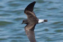 Aves: Non-passerines