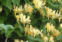 Madressilva / Honeysucle