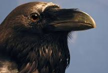 Raben Raven / All about Ravens
