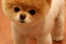 Pom Styles / Pomeranian Grooming Styles
