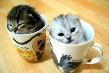 Scottish Fold / They are so cute