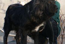 Caucasian Mountain Dogs from our Kennel / Meet our dogs - Caucasian Shepherds Sador, Lado, Vasilisa, Melani, Alaniya, Madlen, Omaliya, Lava.
