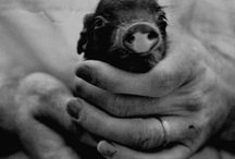 One day I will own a teacup pig