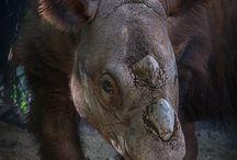 sumerian rhino