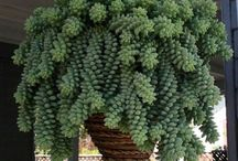 Hang plante