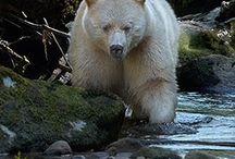 medvědi - neobvykle zbarvení