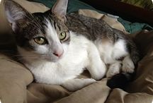 Adoptable Cats / Cats for adoption. We have adoption fairs every Sat & Sun @Petco on S College Rd. in Wilmington NC.