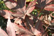 Acers / A beautiful selection of Acers that are available from our Nursery in Hooe, East Sussex