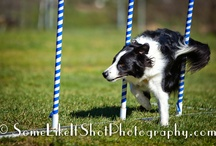 Bandit: my sweet Border Collie / Bandit is a 4 year old Border Collie that knows hundreds of tricks.  He is an amazing dog with super talents!  Pamela Johnson, Pam's Dog Academy, Pam's Dog Training, San Diego, CA. / by Pam's Dog Academy