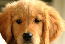 Golden Retriver ♡♥♡