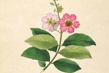 Coromandel / The beautiful coromandel flower illustrations.