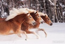 Haflingers