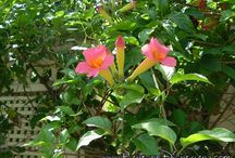 Climbing Plants for Pergola