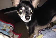 The life and times of George Frito / Our chihuahua George Frito Cerda...aka best dog ever!