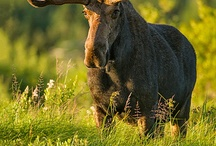 Majestic Moose / by Amy Brown